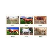 山东旭旺优质肉牛种羊繁育养殖场