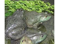 美蛙种苗供应