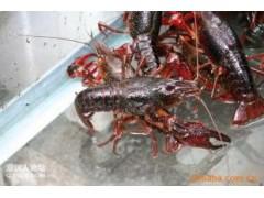 龙虾种虾供应