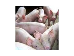 供应良种三元仔猪长大母猪太湖猪梅山猪苏太猪苏淮黑猪