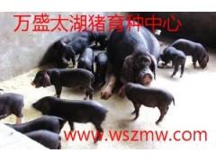 太湖猪保种场供应梅山猪苏太猪二花脸母猪淮猪苏淮黑猪