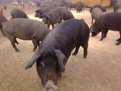 生态养殖藏香猪有机黑猪放养莱芜黑猪苏太黑猪