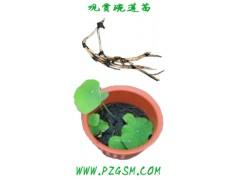 盆栽荷花,观赏碗莲睡莲种