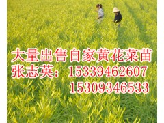 大量出售黄花菜苗;张志英:15339462607甘肃庆阳