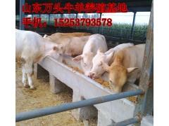 山东天升大型西门塔尔牛养殖基地出售肉牛犊品种