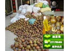 大量供应软枝油茶种子、大果红花油茶种子