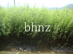 供应各种规格美国竹柳苗