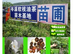 供应岑溪软枝油茶苗、红花大果油茶苗