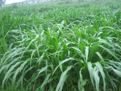 牧草种子 墨西哥玉米草