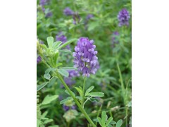 进口紫花苜蓿种子