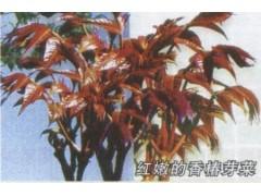 红叶香椿种子 芽菜种子