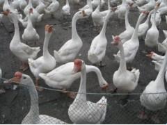 供鹅苗最新价格 四川鹅苗价格 贵州鹅苗行情 鹅苗饲养最新技术