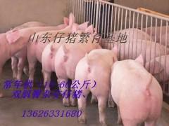 13626331680山东优良仔猪供应