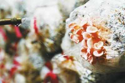 培育的粉色平菇