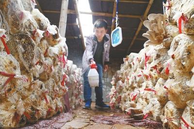 河科大学生自建大棚种出彩色蘑菇 目前已实现盈利
