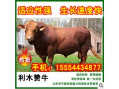 供应肉牛犊 养一头肉牛需要多少时间出栏