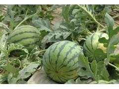 今日西瓜价格8毛每斤山东大棚西瓜大量上市