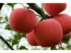 山东烟台红富士苹果产地诚信批发代购直供
