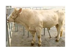 纯种夏洛莱育肥小牛犊价格 山西夏洛莱育肥牛价格