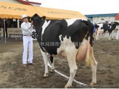 纯种荷斯坦黑白花高产奶牛价格