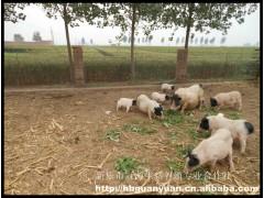 石家庄巴马香猪乳猪特种养殖
