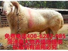 供应小尾寒羊,波尔山羊,杜泊绵羊,黑山羊等肉羊