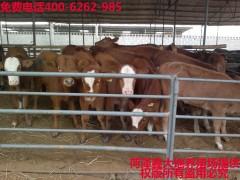 西门塔尔牛,利木赞牛,夏洛莱牛,鲁西黄牛,三元杂交牛