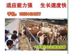 200斤的肉牛育肥牛容易得病吗