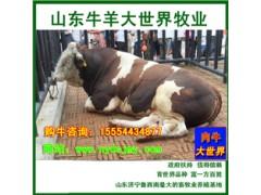 山东肉牛养殖场出售8000头育肥小牛犊