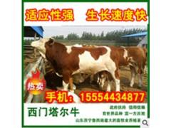 出售优质肉牛小牛犊价格便宜质量保证