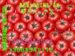 西红柿大量上市