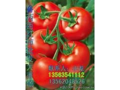 西红柿 黄瓜 番茄 花蕾甜瓜 青皮甜瓜 花皮甜瓜 大量上市