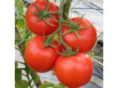 13626331680山东大棚西红柿供应