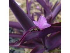 供应广西紫竹梅,紫叶鸭跖草种苗