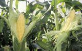 玉米价格低迷 农户惜售