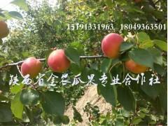 陕西及早熟丰园红杏批发,丰园红杏产地批发价格