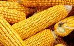 玉米价格止跌反弹