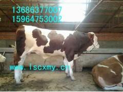 供应商品肉牛屠宰肉牛繁育母牛架子牛