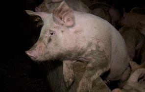 生猪喂料的科学方法