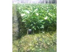 三红蜜柚嫁接苗/正宗三红柚种苗/平和兴红盛苗木中心