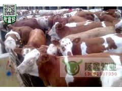 大量出售西门塔尔牛小肉牛犊小犊牛小牛苗