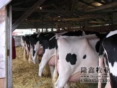 大量出售中国荷斯坦奶牛北京黑白花高产奶牛