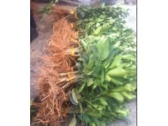 平和黄金蜜柚苗批发+黄金蜜柚苗价格