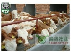 出售良种肉牛育肥牛架子牛肉牛价格行情肉牛养殖肉牛