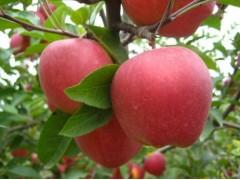 山东红星红将军苹果上市批发价格便宜