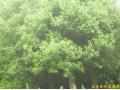 江苏南京香樟等多种绿化苗木 (图)