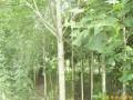 江苏南京马褂木等多种绿化苗木 (图)