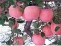 山东红富士苹果成熟,基地直销便宜了