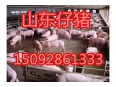15092861333供应三元仔猪批发价格