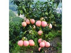 四川柚子苗嫁接,四川柚子苗价格,四川柚子苗种植技术